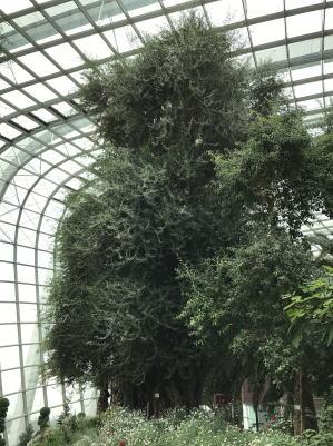 プロも圧巻オリーブの木