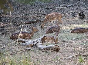 ランタンボールの鹿