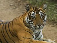 ランタンボール国立公園の虎