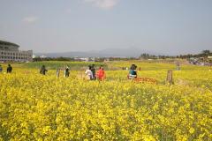一面、菜の花の済州島