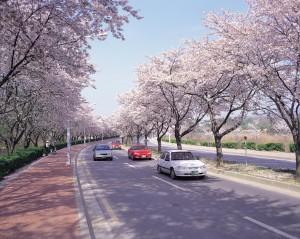 慶州晋門湖の桜