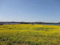 済州の菜の花畑
