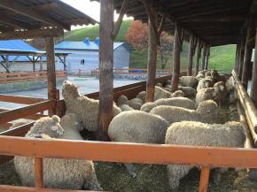 大関嶺羊牧場の羊たち