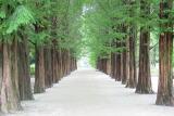 冬ソナ メタセコイヤの並木道