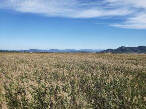 順天湿地帯葦畑