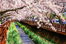 鎮海軍港祭と桜