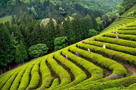 宝城茶香祭り