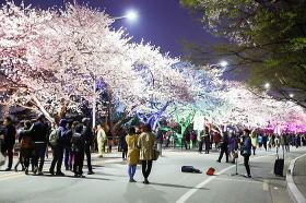 ソウル汝矣島 桜祭り