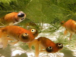 アートアクアリウム金魚