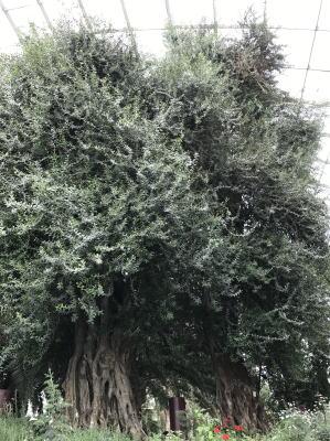 巨大なオリーブの木
