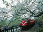 台湾旅行 阿里山