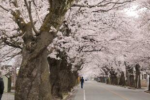 富岡町夜ノ森の桜並木