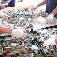 台湾名物の萬里蟹