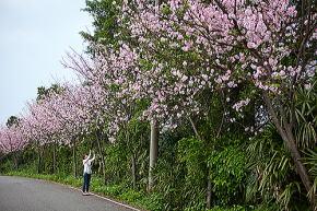 桜の名所 桜の花道