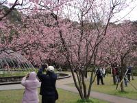 陽明山公園の桜