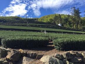 阿里山の茶畑