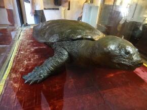 ホアンキエム湖に棲んでいた大亀の剥製